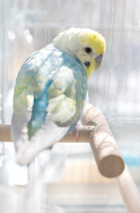 セキセイインコ 鳥かご 日差しの写真素材 [FYI04100164]