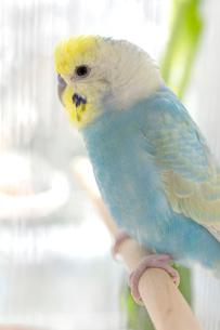 セキセイインコ 鳥かごの写真素材 [FYI04100165]