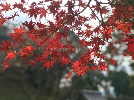 紅葉の写真素材 [FYI04100173]