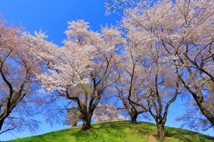 さきたま古墳公園の桜の写真素材 [FYI04100254]