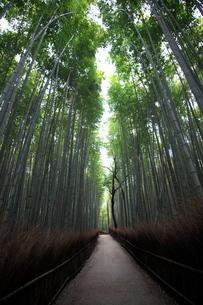 冬の朝の嵐山 竹林の小径の写真素材 [FYI04100306]