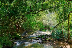西表島のジャングルの写真素材 [FYI04100327]