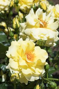 黄色いバラの花の写真素材 [FYI04100343]