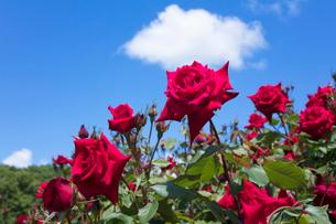 赤いバラの花の写真素材 [FYI04100379]