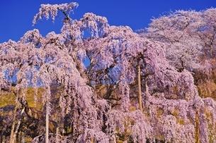 三春滝桜の写真素材 [FYI04100540]