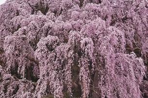 合戦場のしだれ桜の写真素材 [FYI04100543]