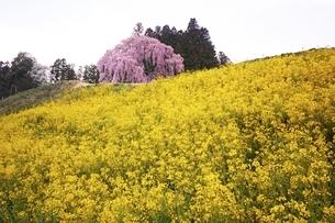 合戦場のしだれ桜の写真素材 [FYI04100545]