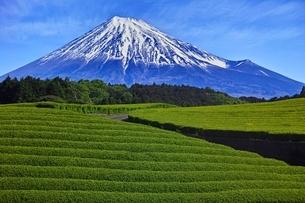 茶畑と富士山の写真素材 [FYI04100558]