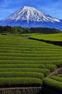 茶畑と富士山の写真素材 [FYI04100559]