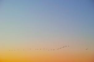 一列のなって飛ぶ鳥の群れの写真素材 [FYI04100597]