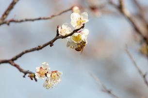 梅とミツバチの写真素材 [FYI04100726]
