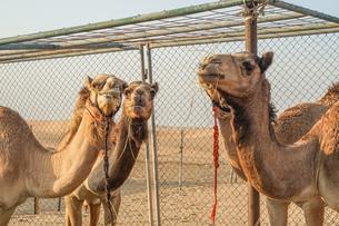 アラビア砂漠のラクダ(アラブ首長国連邦)の写真素材 [FYI04100820]