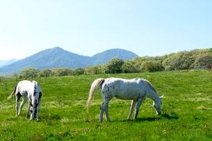 新緑,蒜山高原,馬の放牧の写真素材 [FYI04100955]