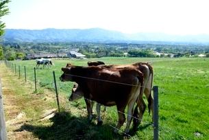 新緑,蒜山高原,ジャ-ジ-牛の放牧の写真素材 [FYI04100968]