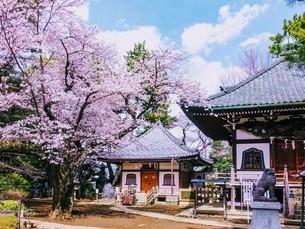 世田谷観音の桜の写真素材 [FYI04101481]