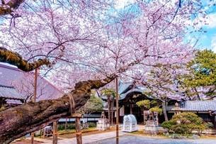 世田谷観音の桜の写真素材 [FYI04101482]
