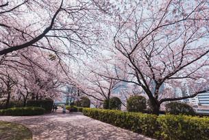 桜満開の中央区佃、月島の春の写真素材 [FYI04101653]