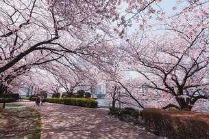 桜満開の中央区佃、月島の春の写真素材 [FYI04101654]