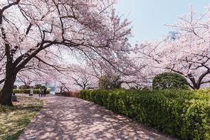 桜満開の中央区佃、月島の春の写真素材 [FYI04101655]