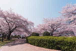 桜満開の中央区佃、月島の春の写真素材 [FYI04101656]