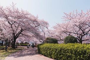 桜満開の中央区佃、月島の春の写真素材 [FYI04101658]