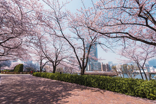 桜満開の中央区佃、月島の春の写真素材 [FYI04101659]