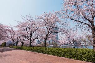 桜満開の中央区佃、月島の春の写真素材 [FYI04101660]