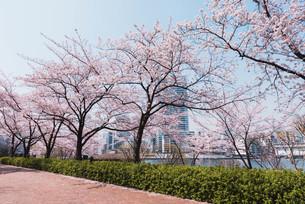 桜満開の中央区佃、月島の春の写真素材 [FYI04101661]