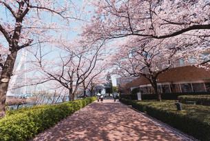 桜満開の中央区佃、月島の春の写真素材 [FYI04101662]