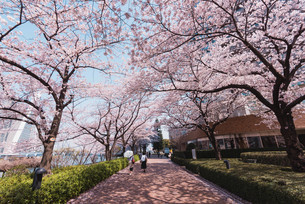 桜満開の中央区佃、月島の春の写真素材 [FYI04101663]