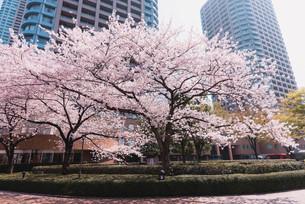 桜満開の中央区佃、月島の春の写真素材 [FYI04101664]