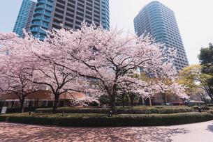 桜満開の中央区佃、月島の春の写真素材 [FYI04101665]