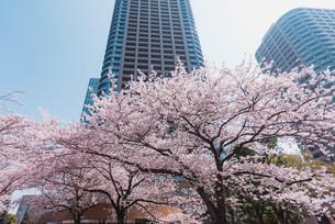 桜満開の中央区佃、月島の春の写真素材 [FYI04101666]