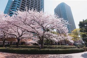 桜満開の中央区佃、月島の春の写真素材 [FYI04101668]