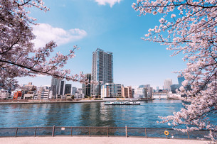 桜満開の隅田川の春の写真素材 [FYI04101763]