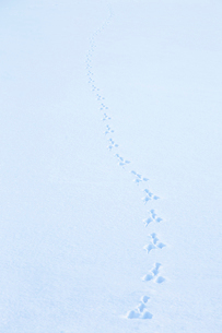 雪原に残ったウサギの足跡の写真素材 [FYI04101777]