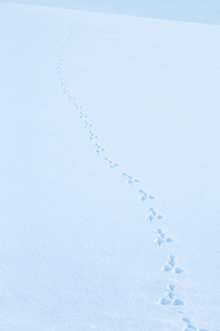 雪原に残ったウサギの足跡の写真素材 [FYI04101778]
