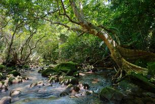 西表島のジャングルの写真素材 [FYI04101886]