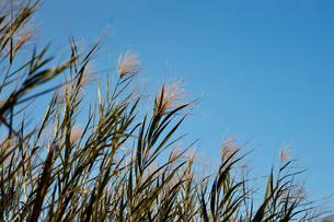 青空と葦の写真素材 [FYI04102272]