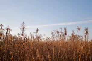 青空と枯れ草の写真素材 [FYI04102273]