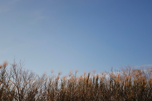 青空と葦の写真素材 [FYI04102274]