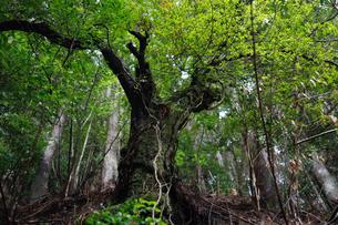 柿の木の写真素材 [FYI04102276]