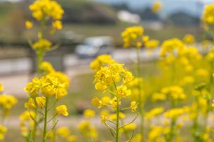 菜の花の写真素材 [FYI04102350]