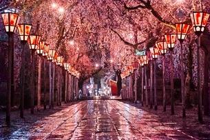 三嶋大社の夜桜の写真素材 [FYI04102359]