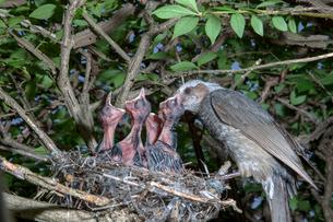 雛に餌を与えるヒヨドリの親の写真素材 [FYI04102548]