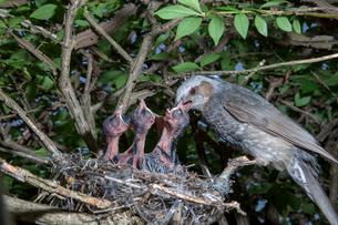 雛に餌を与えるヒヨドリの親の写真素材 [FYI04102552]