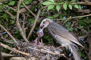 雛に木の実を与えるヒヨドリの親の写真素材 [FYI04102557]