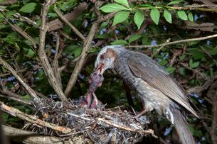 雛に餌を与えるヒヨドリの親の写真素材 [FYI04102558]