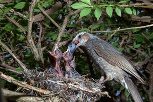 雛に木の実を与えるヒヨドリの親の写真素材 [FYI04102560]