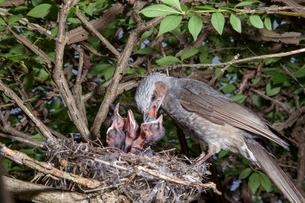 雛に木の実を与えるヒヨドリの親の写真素材 [FYI04102562]